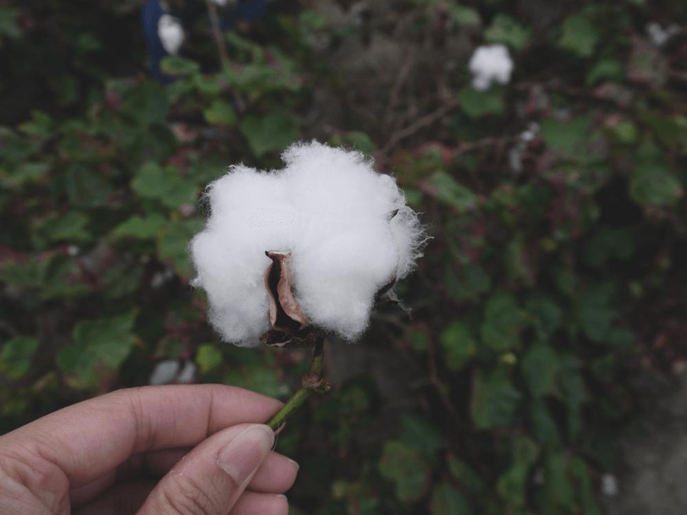 樂眠被棉花